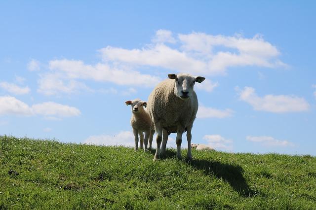 Camping am Deich in Holland mit Schafen